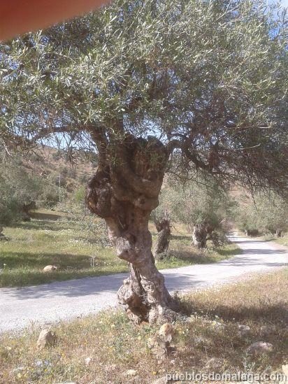 El abrazo del olivo