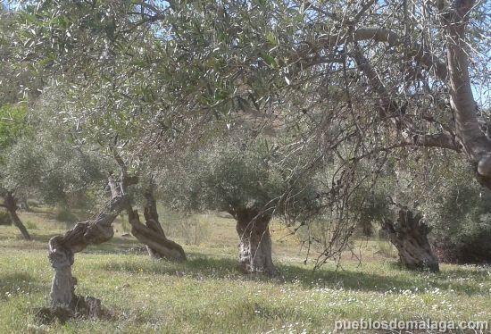 Olivos en Almogia