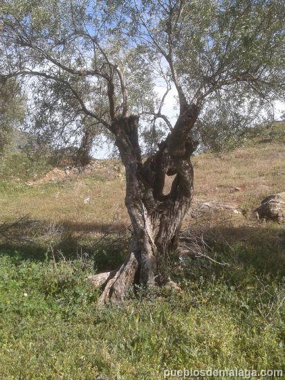 Olivo aceitunero