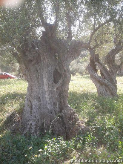 olivo morisco