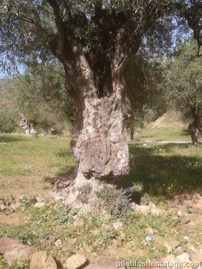 Olivo viejo Almogia