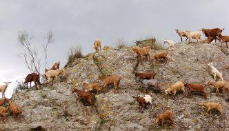 Fiesta de la Cabra Malagueña de Casabermeja 2009