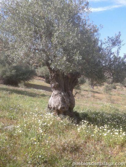 Olivo antiguo en el embalse de Casasola cerca de Almogía
