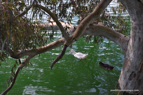 Patos del Pantano del chorro