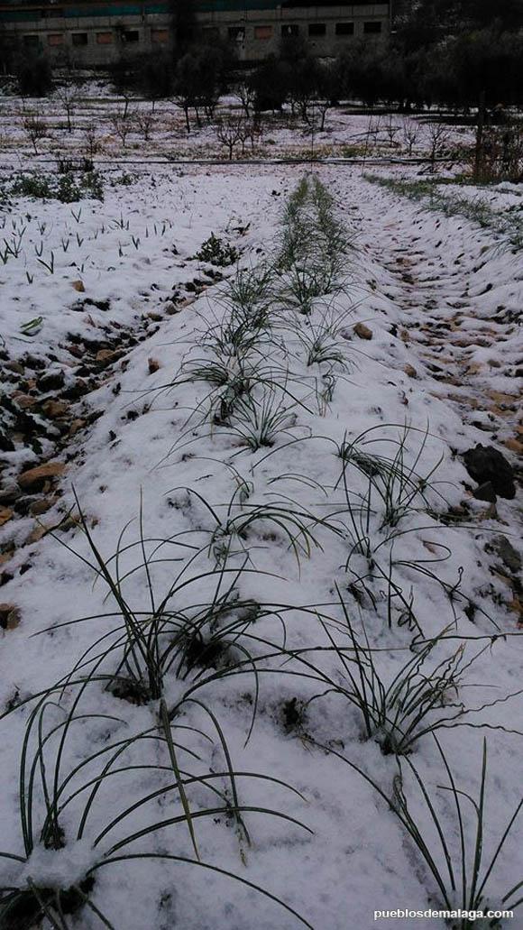 Así estaba el campo en Alfarnate tras las nevadas