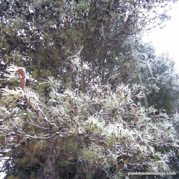 Pino nevado en Alfarnate