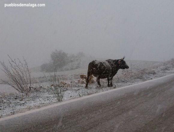 Nevada junto al Torcal de Antequera, aeste toro también le gustó la nieve