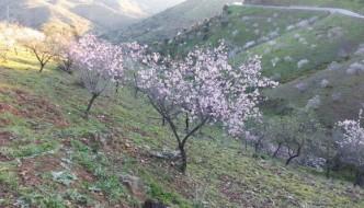 Almendros en flor en la carretera de Almogía