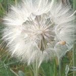 Bulano, flor del cardo borriquero que esparce las semillas en forma de bola