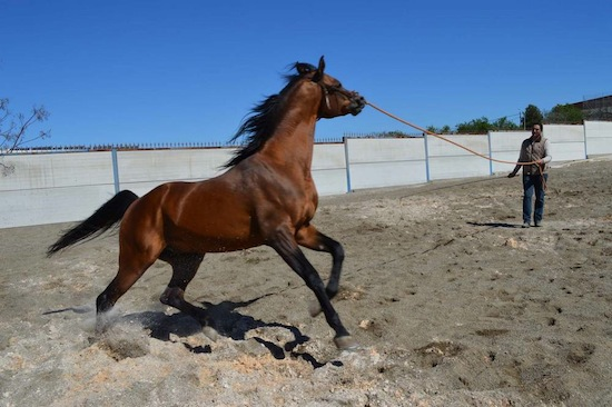 Los mejores caballos del Ejército ya están en Coín para inseminar a las yeguas de toda la provincia.