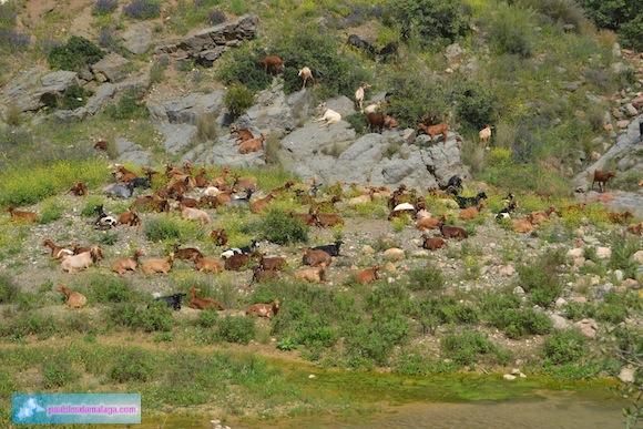 """Cabras junto al río Campanillas junto al Puente de  """"Las Palomas"""""""