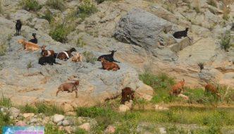 Cabras malagueñas junto al Puente Romano de Almogía