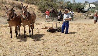 Trilla con mulos y rulo en Almogía