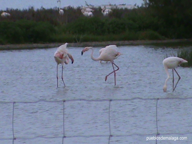 Trio de Flamencos de la Laguna de Fuente de Piedra